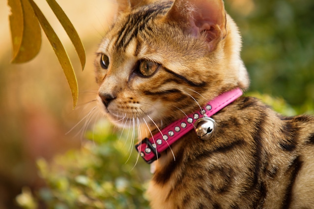 Cat with a Collar